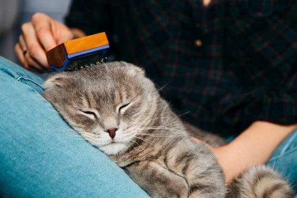 7 Makanan Kucing Anggora Dan Cara Merawat Anaknya