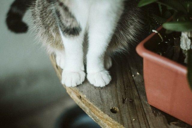 makanan anak kucing anggora