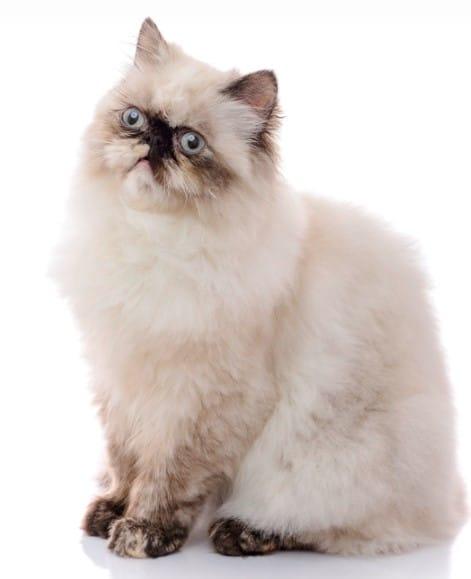 harga kucing himalaya