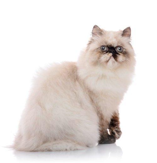 Serba Serbi Kucing Persia Himalaya Dan Kisaran Harganya