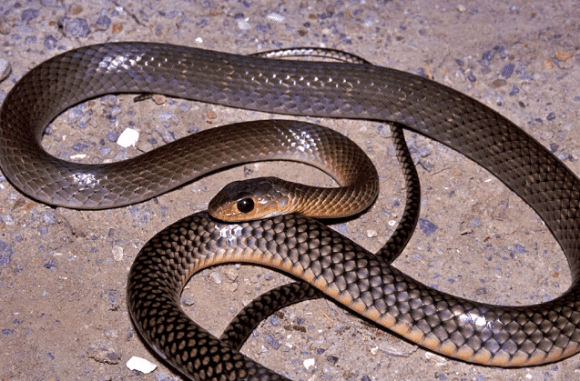 ular jali