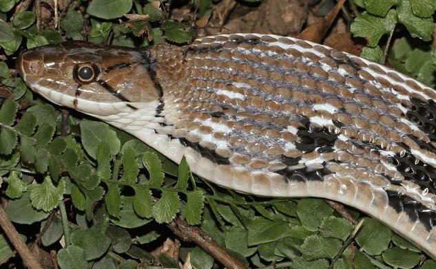 ular sapi