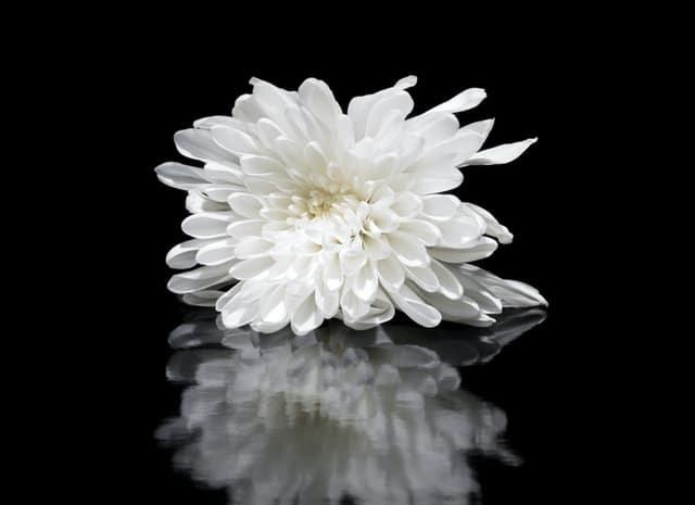 dahlia putih