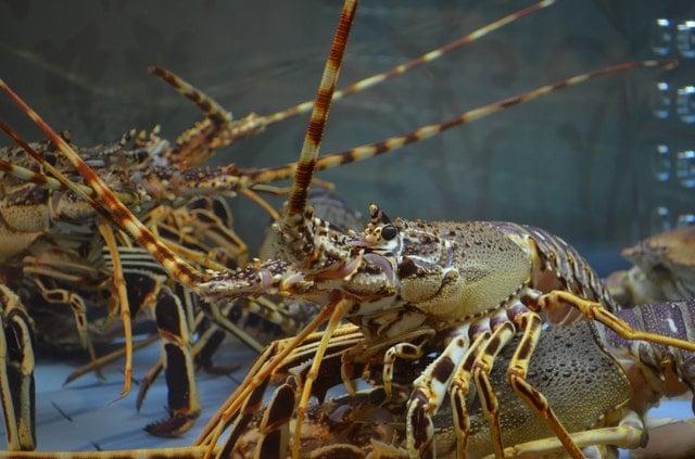 lobster close up