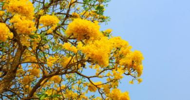 pohon tabebuya