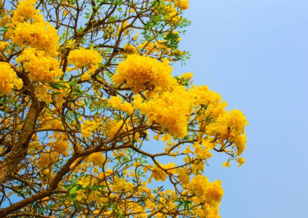 Tips Supaya Pohon Tabebuya Bisa Berbunga Lebat