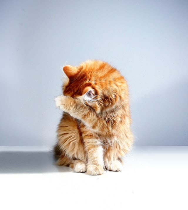Gejala scabies kucing