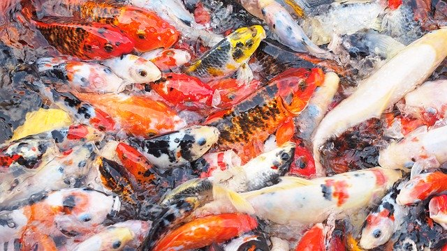 Cara Memelihara Ikan Koi yang Benar