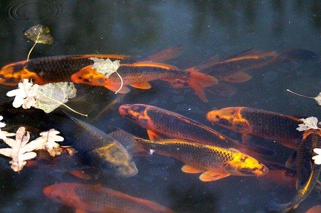 Asal Usul Ikan Koi