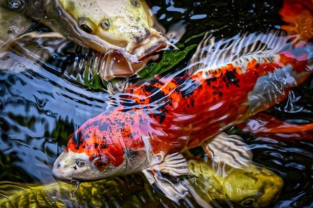 Karakteristik Ikan Koi